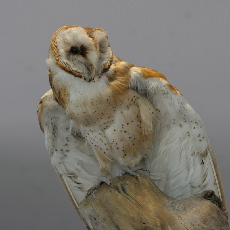 Barn Owl by cvadai