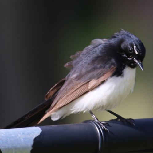 Black and White Fantail