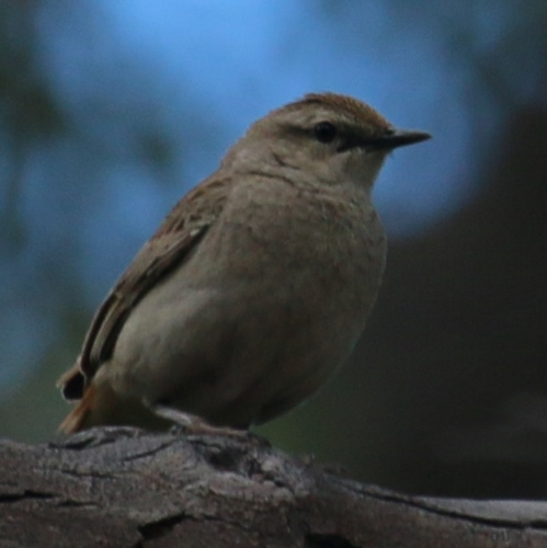 Australian Brown Flycatcher