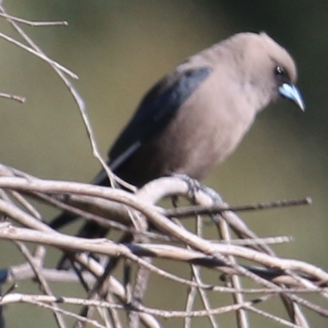 Black-faced Wood Swallow